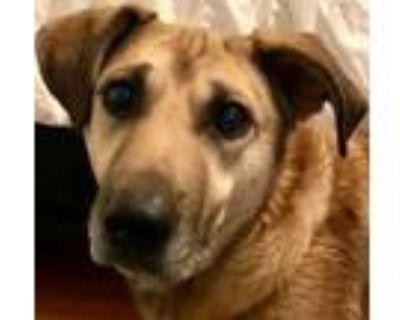 Adopt Howard a Labrador Retriever, German Shepherd Dog