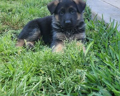 German Shepherd Puppies 3 months old ready for their new home