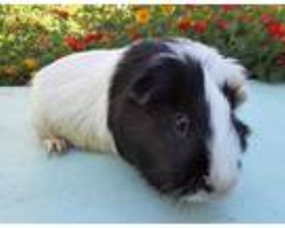 Adopt TACO a Black Guinea Pig / Mixed small animal in Van Nuys, CA (32138114)