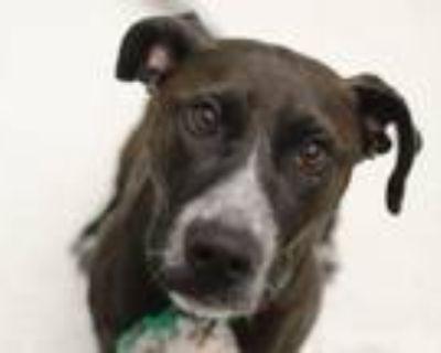 Adopt ELLIE MAE a Labrador Retriever, Mixed Breed