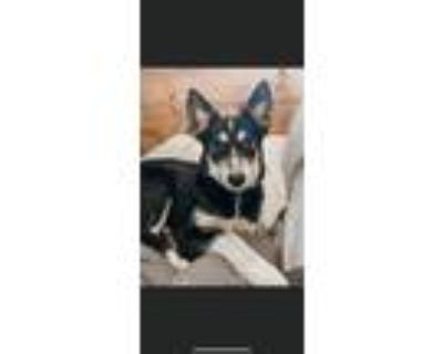 Adopt Evie a Black - with White Husky / Golden Retriever / Mixed dog in