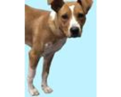 Adopt *BENJA a Brown/Chocolate - with White American Pit Bull Terrier / Mixed