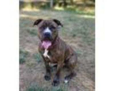 Adopt Callie a Staffordshire Bull Terrier, Boxer