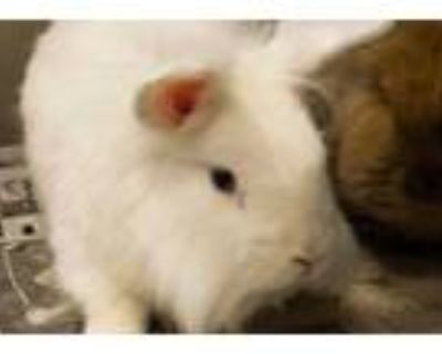 Adopt Roo a White Other/Unknown / Other/Unknown / Mixed rabbit in Chamblee