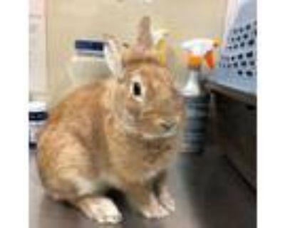 Adopt Boomie a Tan Lionhead / Lionhead / Mixed rabbit in Houston, TX (31982194)