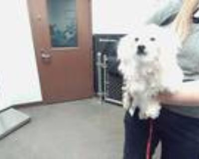 Adopt SPARKY a White Poodle (Miniature) / Mixed dog in Phoenix, AZ (31602236)