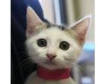 Adopt Vanilla a White Domestic Shorthair / Domestic Shorthair / Mixed cat in