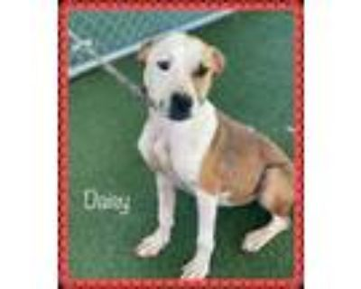 Adopt DAISY (see also REMY) a Brown/Chocolate - with White Boxer / Mixed dog in