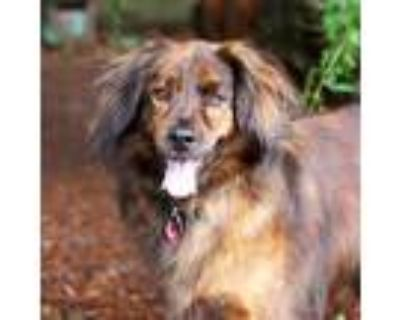 Adopt Waffles a Brindle Golden Retriever / Shepherd (Unknown Type) / Mixed dog