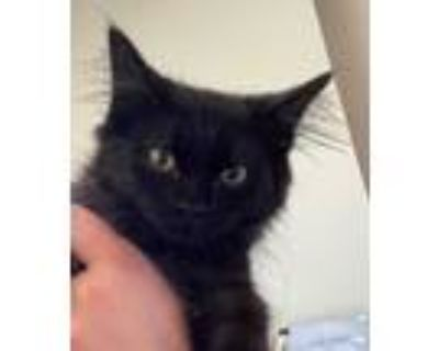 Adopt F. Scott a All Black Domestic Longhair / Domestic Shorthair / Mixed cat in