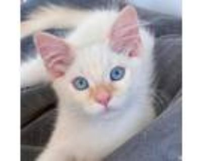 Adopt Marshmallow a Orange or Red Siamese / Mixed cat in Long Beach