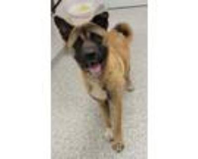 Adopt Haruki a Brown/Chocolate Akita / Mixed dog in Kansas City, MO (32082056)