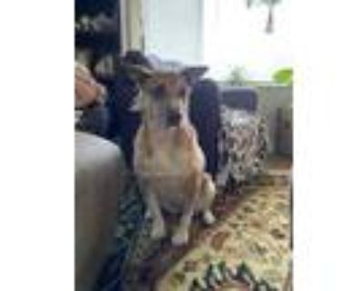 Adopt Maggie a Tan/Yellow/Fawn - with White Hound (Unknown Type) / Mixed dog in