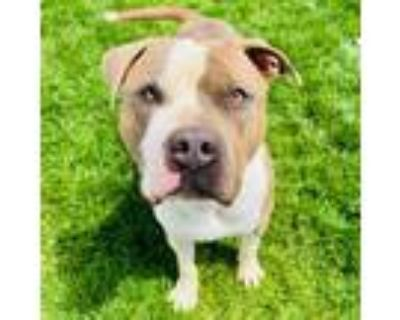 Adopt Bo a Pit Bull Terrier