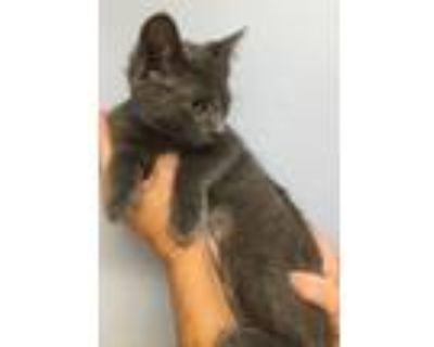 Adopt Ruby a Gray or Blue (Mostly) Russian Blue (short coat) cat in Staunton