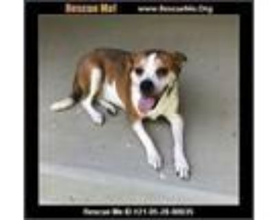 Adopt Holly a Boxer, Jack Russell Terrier