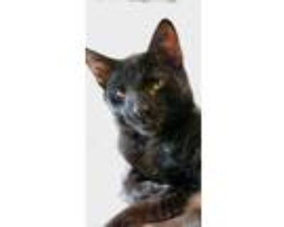 Adopt Crow Kitten a Bombay / Mixed (short coat) cat in Knoxville, TN (31757863)