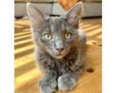 Flora, Russian Blue For Adoption In Fort Worth, Texas