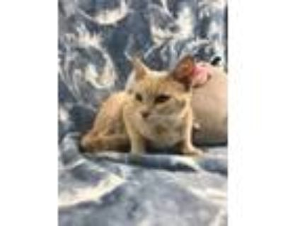 Adopt Marley a Cream or Ivory Domestic Shorthair (short coat) cat in Queen