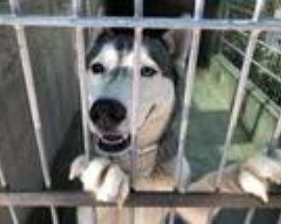 Adopt A499461 a Siberian Husky