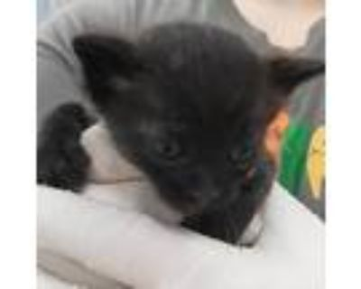 Adopt Pacman a All Black Domestic Shorthair / Mixed cat in Jacksonville