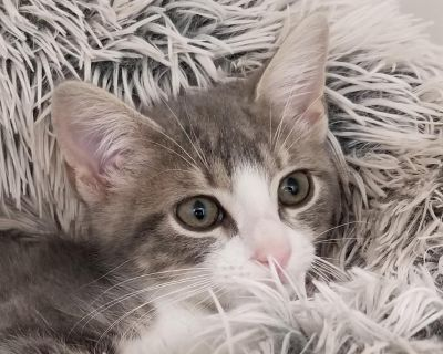 Joshua Riley - Domestic Shorthair - Kitten Male