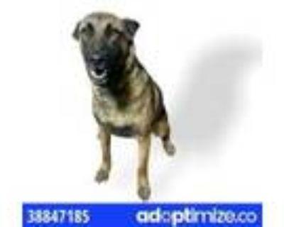 Adopt ottis a Black Belgian Malinois / Terrier (Unknown Type