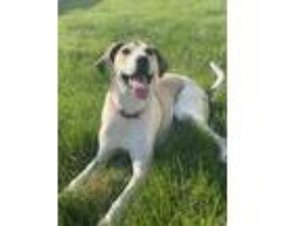 Adopt Phoebe a Tan/Yellow/Fawn Hound (Unknown Type) / Mixed dog in Thorofare