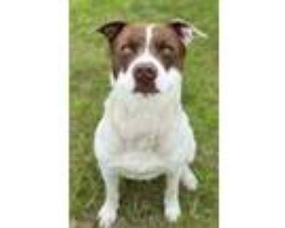 Adopt Leroy a English Springer Spaniel / Labrador Retriever / Mixed dog in