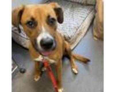 Adopt 21-052 Nova a Brown/Chocolate Boxer / Mixed dog in Hampton, VA (31529573)