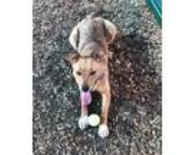 Adopt BLUEBONNET a Brown/Chocolate - with White German Shepherd Dog / Mixed dog