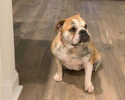 2 year female English Bulldog