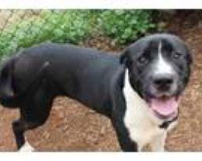 Adopt Gunner a Black Labrador Retriever / Mixed dog in Anderson, SC (31595139)