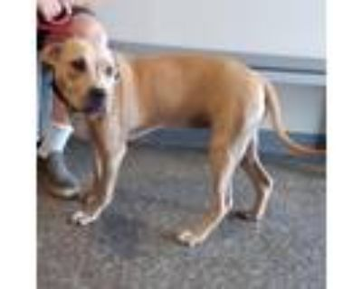 Adopt Melissa Anna a Tan/Yellow/Fawn Pit Bull Terrier / Mixed dog in Mission