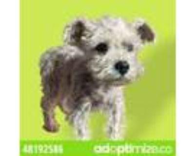 Adopt 48192586 a Gray/Blue/Silver/Salt & Pepper Schnauzer (Miniature) / Mixed