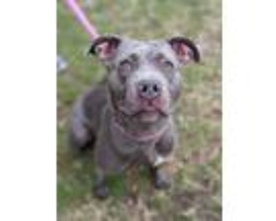 Adopt EMU a Blue Lacy, Mixed Breed