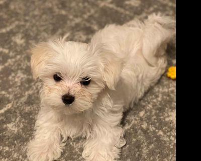 ***Sold***Maltese Puppies Atlanta Ga