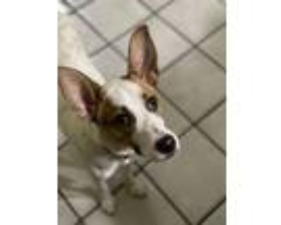 Adopt Remi the Runner a White - with Brown or Chocolate Beagle / Whippet / Mixed