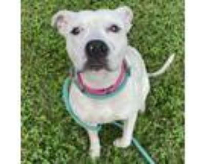 Adopt Millie a Pit Bull Terrier, Mixed Breed
