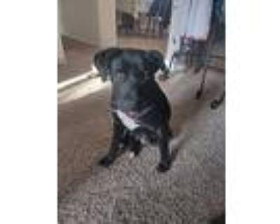 Lily, Labrador Retriever For Adoption In Albuquerque, New Mexico