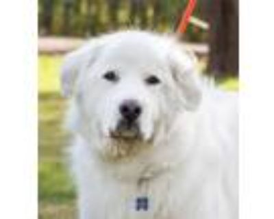 Adopt Brian a Great Pyrenees