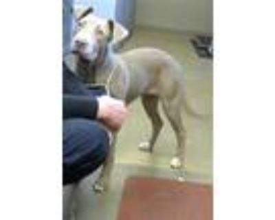 Adopt *POLLY a Tan/Yellow/Fawn American Pit Bull Terrier / Mixed dog in