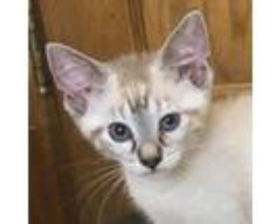 Adopt Creed a Tan or Fawn (Mostly) Domestic Shorthair cat in Palatine