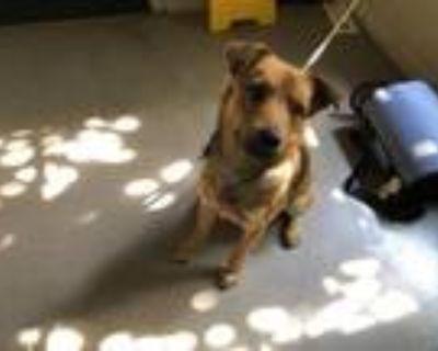 Adopt A499280 a Shiba Inu, Labrador Retriever