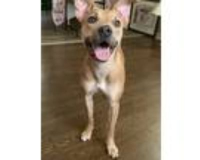Adopt nyla a Tan/Yellow/Fawn Greyhound / Terrier (Unknown Type