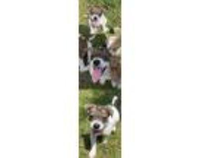 Adopt Frasier Litter Niles a Australian Shepherd / Mixed dog in Chantilly
