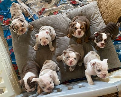 ❤️ BEAUTIFUL English Bulldog Puppies
