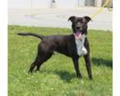 Adopt HOBO a Black - with White American Pit Bull Terrier / Mixed dog in