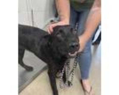 Adopt Levi a Black Retriever (Unknown Type) / Mixed dog in Fort Worth
