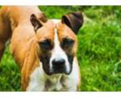 Adopt Hazelton a Brown/Chocolate Mixed Breed (Large) / Mixed dog in Chamblee